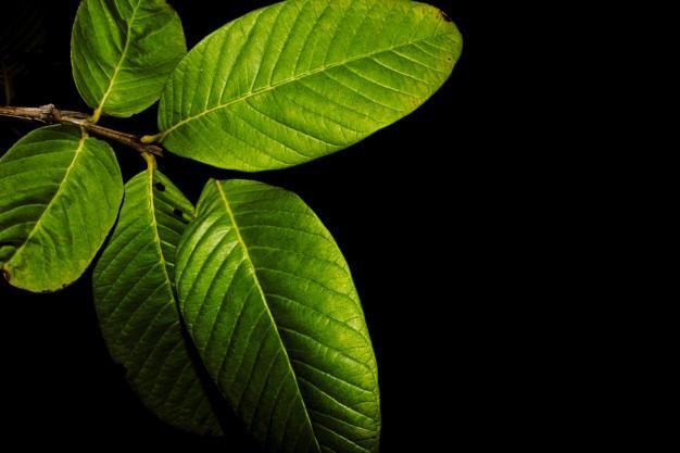 hojas de guayaba para realiza té