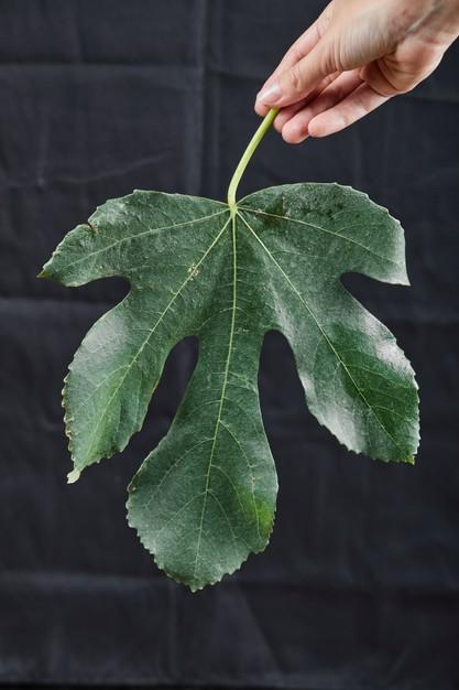 hojas de higo