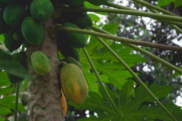 hojas de papaya
