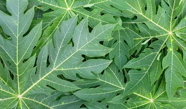 Las hojas de papaya son excelentes para tratamiento de diabetes